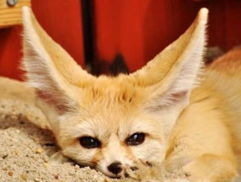 Adoptation of Simon, the desert fox